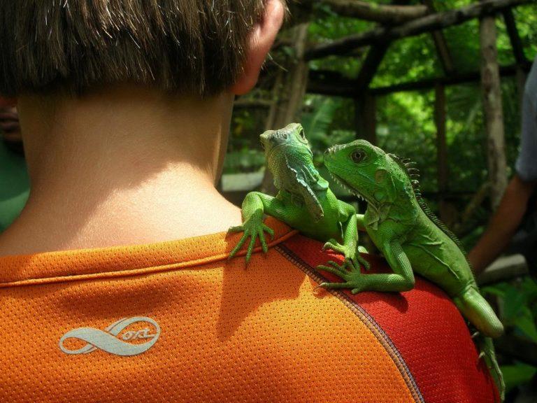 see young iguanas on San Ignacio Tours